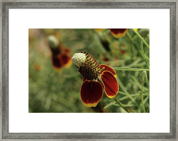 Prairie Coneflower (ratibida Columnifera) Framed Print