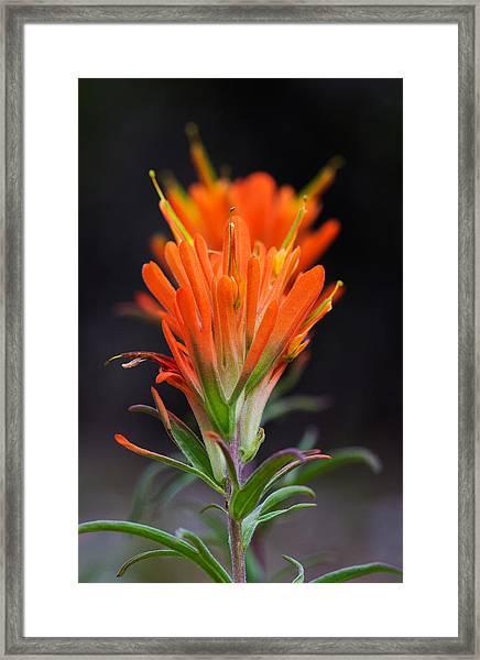 Prairie Paintbrush Flower Framed Print