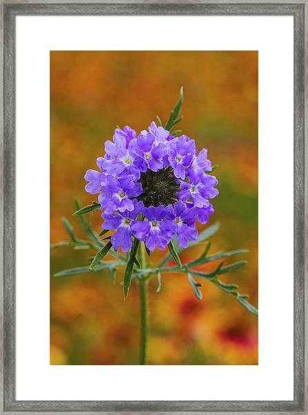 Prairie Verbena In A Firewheel Colony Framed Print