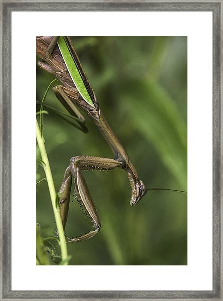Praying Mantis 002 Framed Print