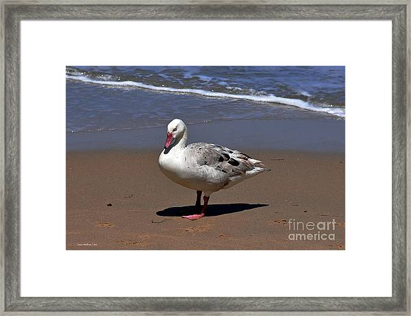 Pretty Duck Posing On Monterey Beach Framed Print