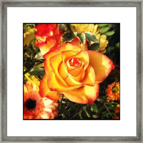 Pretty Orange Rose Framed Print