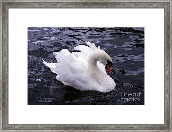 Pretty Swan Framed Print