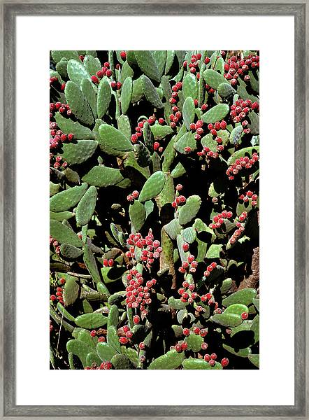 Prickly Pear Cactus Framed Print by Dr Jeremy Burgess/science Photo Library
