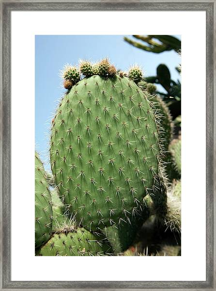 Prickly Pear (opuntia Ficus-indica) Framed Print by Pascal Goetgheluck/science Photo Library