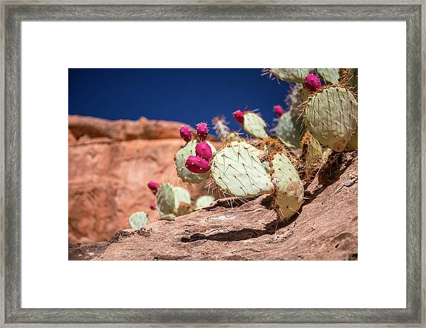 Prickly Pear (opuntia Sp.) In Fruit Framed Print by Michael Szoenyi