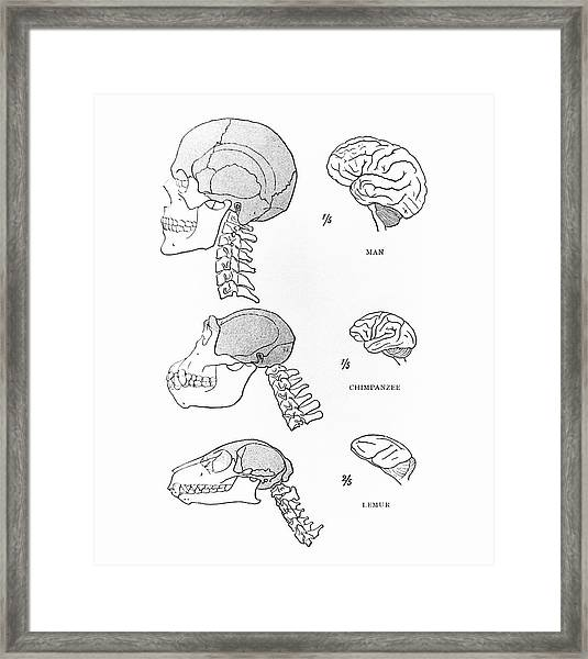 Primate Brains Framed Print by Science Photo Library