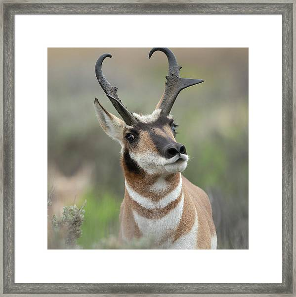 Pronghorn Buck Showing Territorial Framed Print