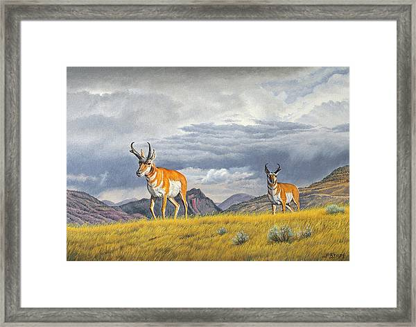 Pronghorn-coming Over The Rise Framed Print