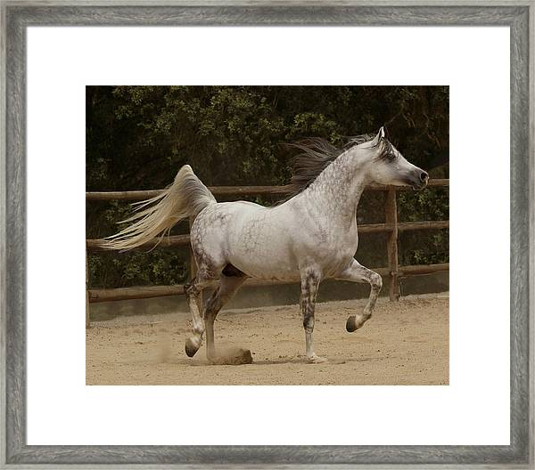 Framed Print featuring the photograph Proud Arabian by Melinda Hughes-Berland