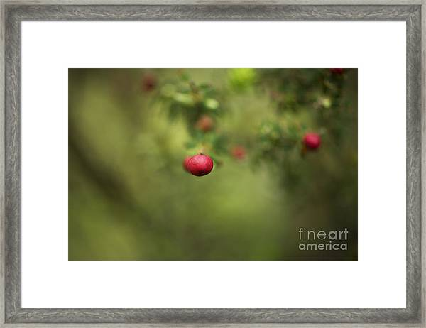 Pukiawe Berry Close-up Framed Print