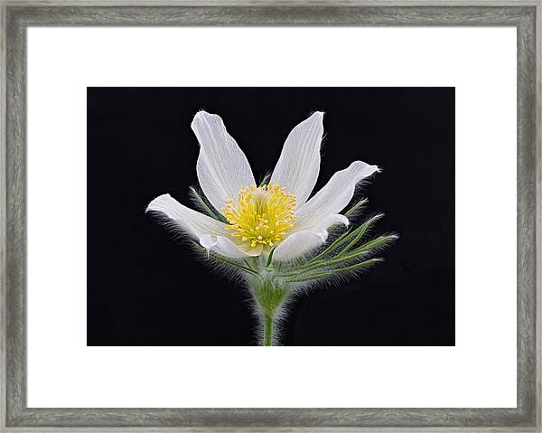 Pulsatilla Alba Framed Print