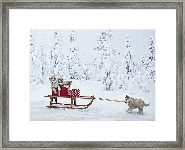 Puppies With A Sled Full Of Christmas Framed Print by Per Breiehagen