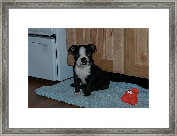 Puppy Boston Terrier And Toy Framed Print