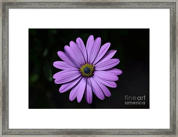 Framed Print featuring the photograph Purple African Daisy by Scott Lyons