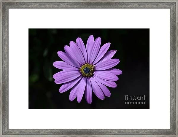 Purple African Daisy Framed Print
