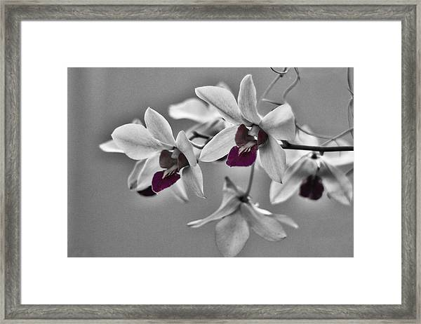 Purple And Pale Green Orchids - Black And White Framed Print