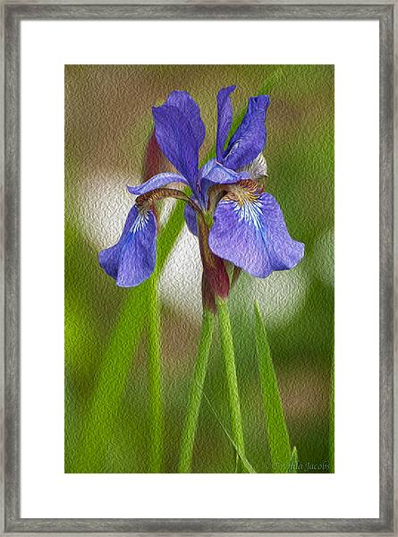 Purple Bearded Iris Oil Framed Print