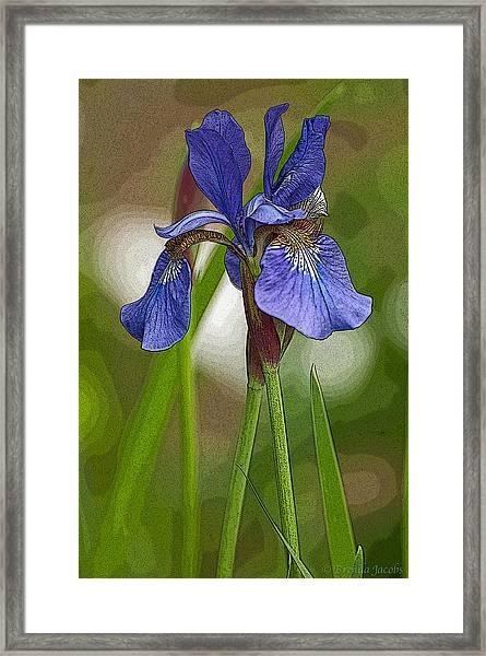 Purple Bearded Iris Watercolor With Pen Framed Print
