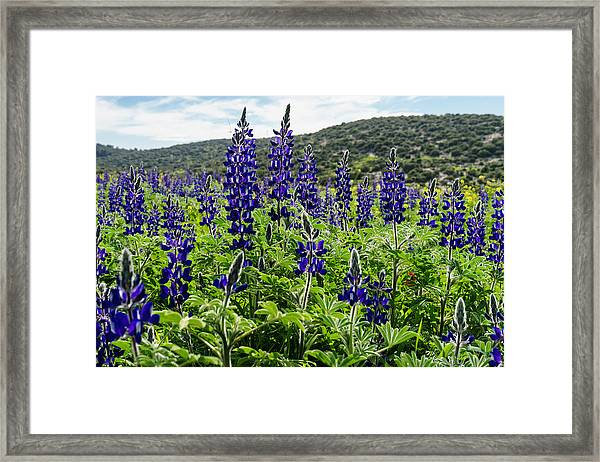 Purple Blossom Framed Print
