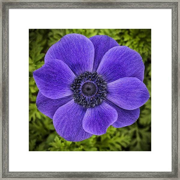Purple Blue Anemone Framed Print