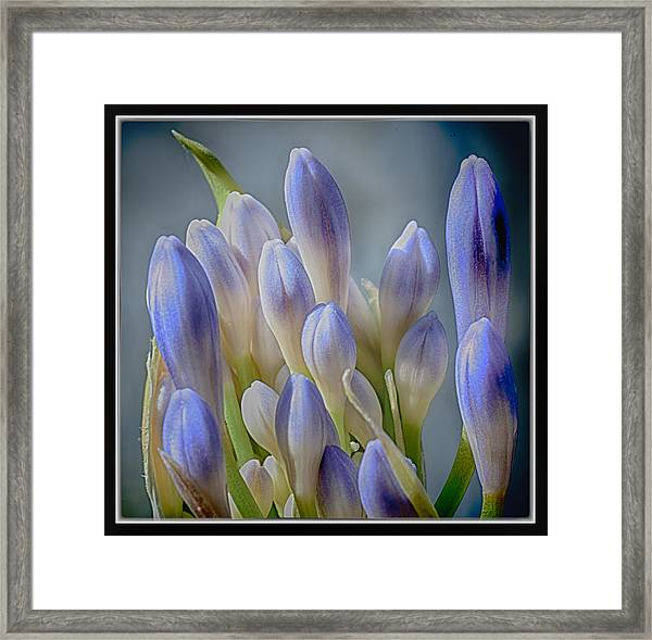 Purple Buds Framed Print