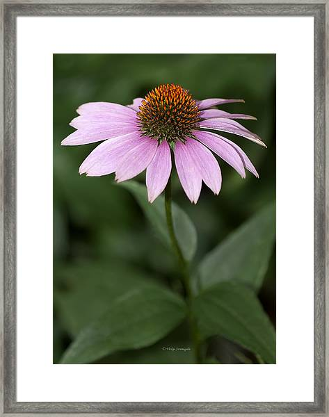 Purple Cone Flower Framed Print