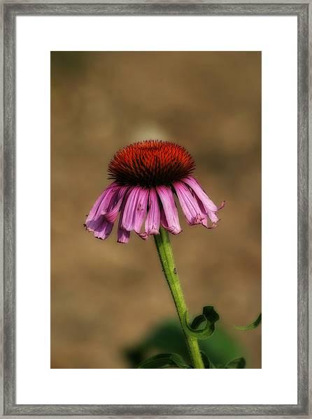 Purple Coneflower Framed Print