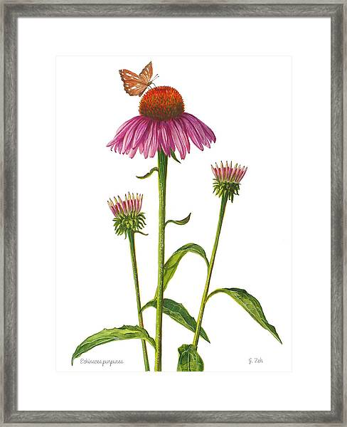 Purple Coneflower - Echinacea Purpurea  Framed Print