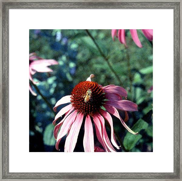 Purple Echinacea Framed Print