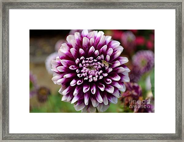 Purple Dahlia White Tips Framed Print