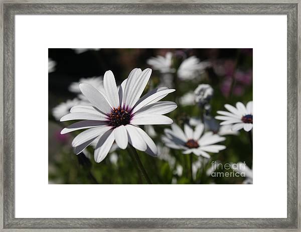 Purple Daisies 2 Framed Print