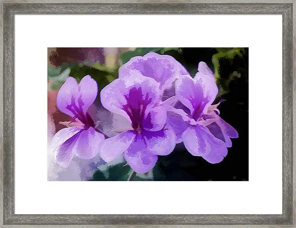 Purple Geraniums  Framed Print