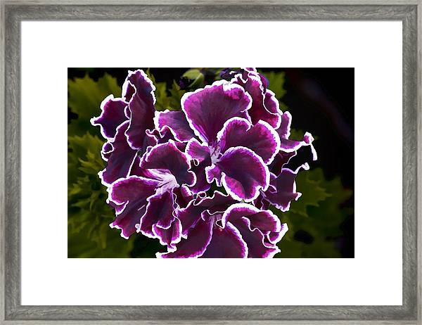 Purple Gernaium Framed Print
