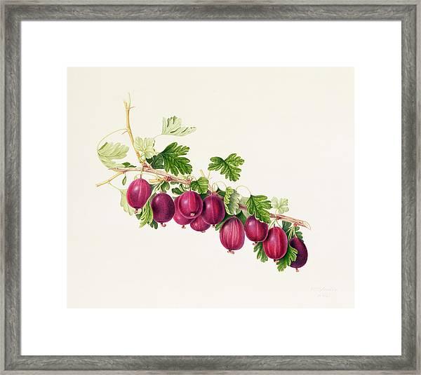 Purple Gooseberry Framed Print