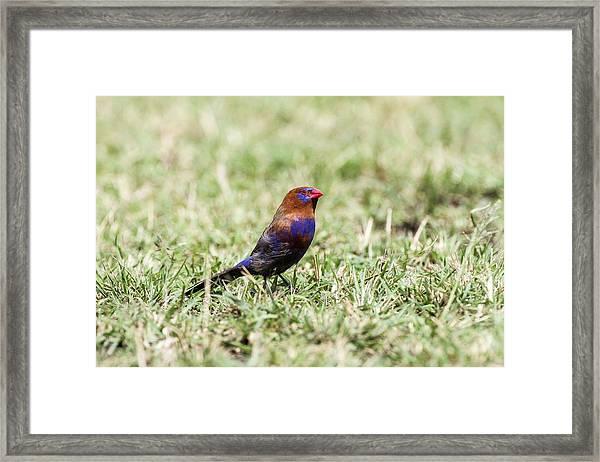 Purple Grenadie Framed Print