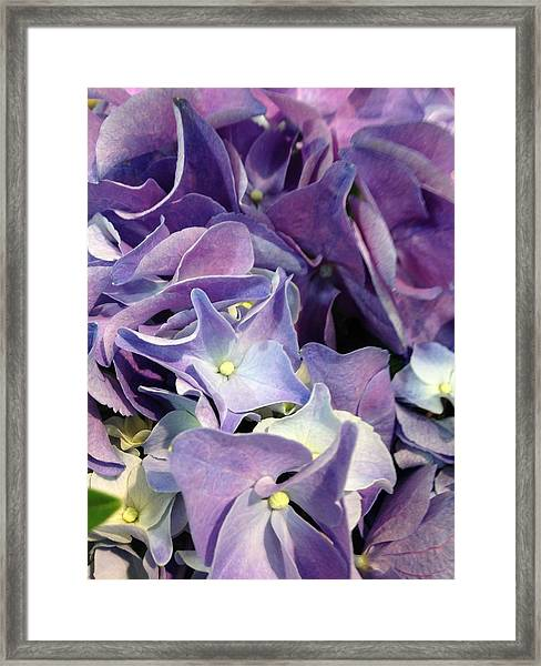 Purple Hydrangeas Framed Print