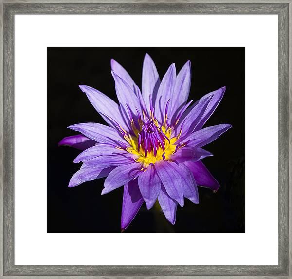 Purple Lilly Framed Print