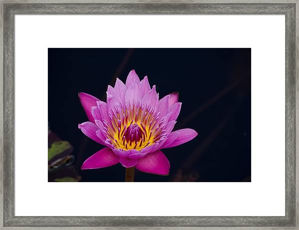Purple Lotus Flower Framed Print