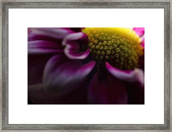 Purple Mum Macro Framed Print