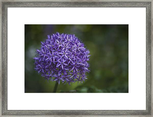 Purple Puff Framed Print