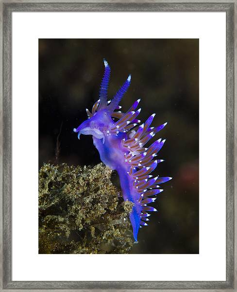 Purple Seaslug Framed Print by A. Martin UW Photography