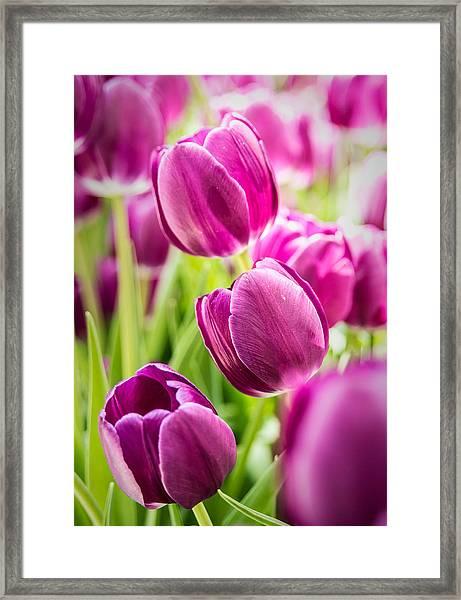 Purple Tulip Garden Framed Print