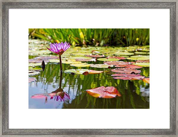 Purple Water Lily Flower In Lily Pond Framed Print