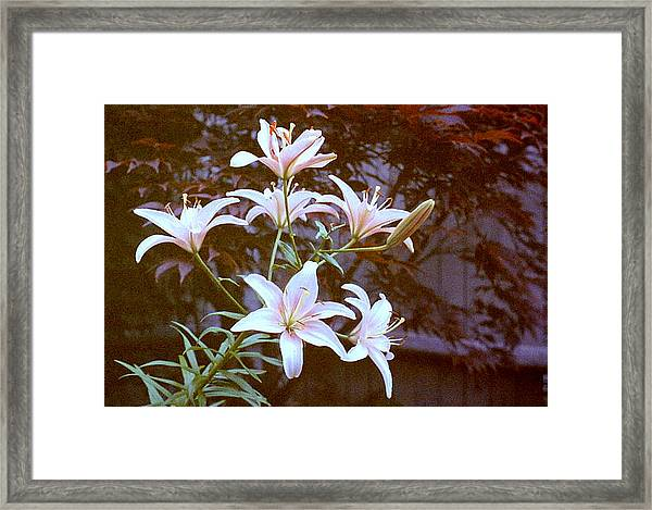 Purple/white Lily Framed Print