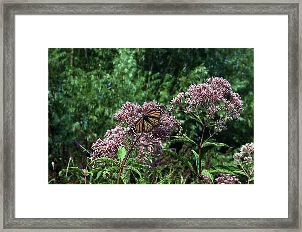 Pye Fly Framed Print