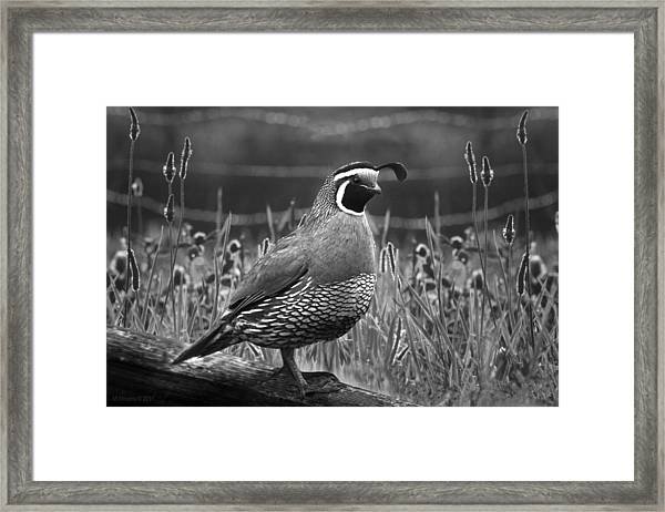 Quailgrass 2 Framed Print by Melisa Meyers