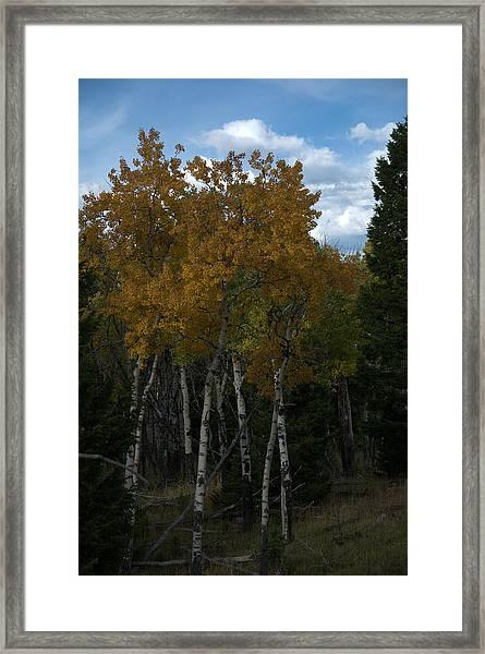 Quaking Aspen Framed Print