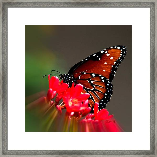 Queen Butterfly II Framed Print