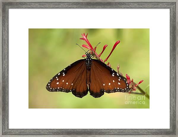 Queen Butterfly Framed Print